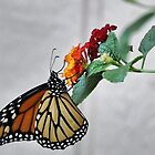 MONARCH BUTTERFLY 3 by webdog