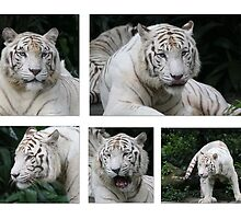 White Tiger Beauty by Leanne Allen