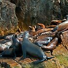Seals, Baja, Mexico. by bulljup
