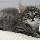 Cute Kitten by Paul Murray