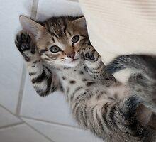 Little Kitten by Paul Murray