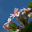 Malaysian Frangipani Tree by breewood
