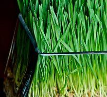 Wheat Grass by Ali Brown