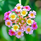 Lantana Flower by Penny Smith