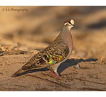 COMMON BRONZEWING (Male) Photographic Print