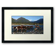 herefords on the mahitahi river,  south westland, nz Framed Print