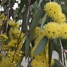 Fluffy yellow flowering gum by BronReid