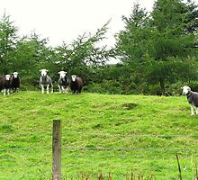 The Herdwicks at Home ~ In Scotland by artwhiz47