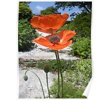 Oriental Poppies in Bright Orange Poster
