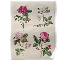 Johannes Simon Holtzbecher Rosa gallica Poster