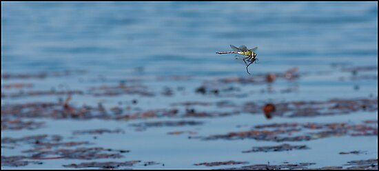 Dragonflies are killing machines by Yves Roumazeilles