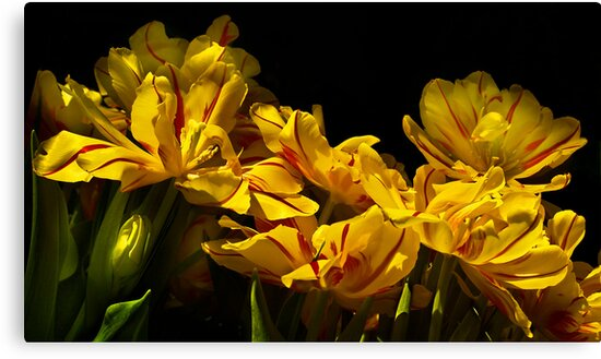 A cascade of tulips by cclaude