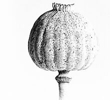 Poppy Head 01 by Simon Lupton