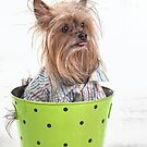 Yorkshire Terrier with a bad Hair Day by susan stone