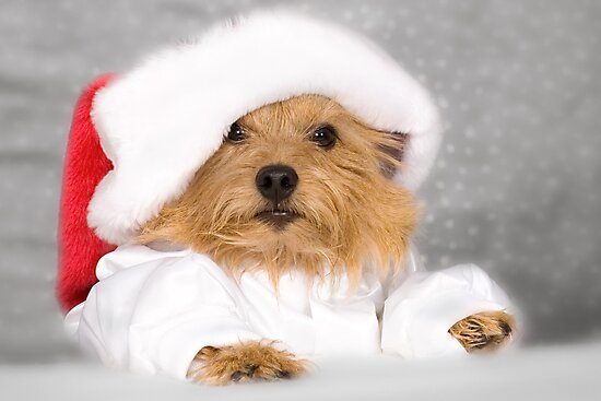 Norwich Terrier Santa Dog by susan stone