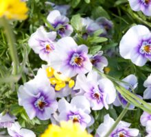 Sunny Pansies in Bloom Sticker
