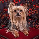 A Royal Yorkshire Terrier  by susan stone
