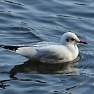 Black Headed Gull by Beatminister