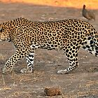 Stalking leopard - Mashatu, Botswana by Sharon Bishop