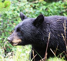 Wet Black Bear by Alyce Taylor
