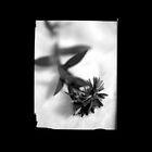 Vintage Flower by BKSPicture