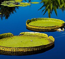 Lily pads at Denver Botanic Gardens by Thad Zajdowicz
