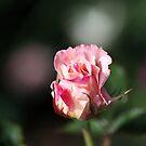 Rose Bud Romance by Joy Watson