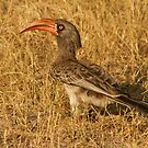 Red-billed hornbill by Lynda Harris