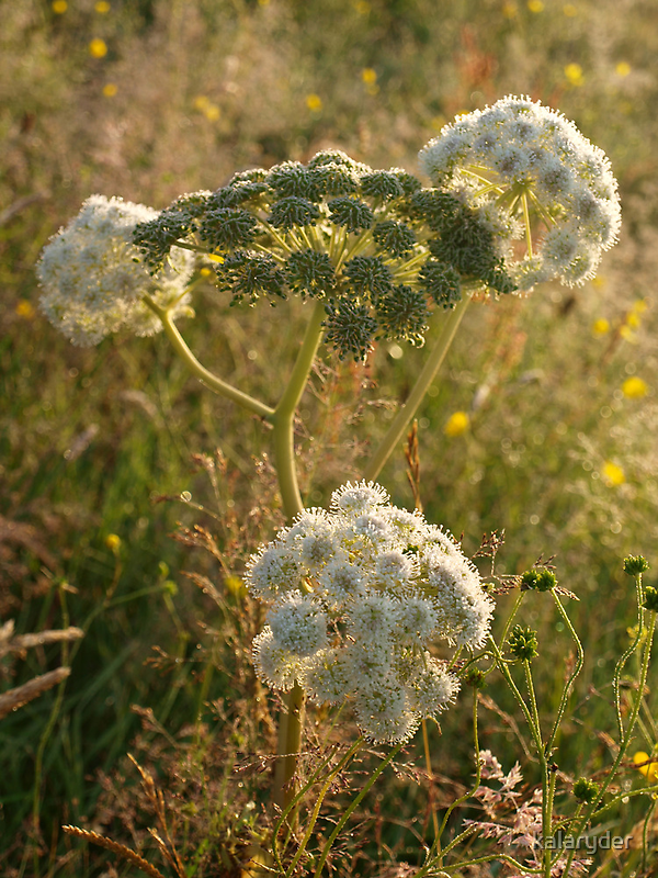 Angelica in the morning by kalaryder