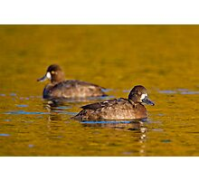 Sunset scaup Photographic Print