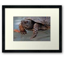 Edward, the lil Box Turtle Framed Print