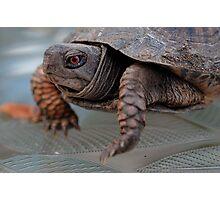 Edward, the lil Box Turtle Photographic Print