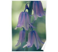 The magical translucence of bluebells Poster