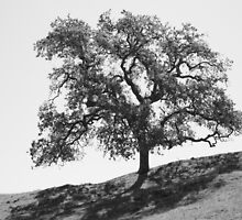Oak Tree, Sunol Wilderness, California by John Littell