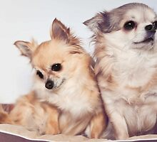 Two cute chihuahuas by MayJ