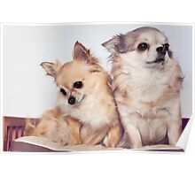 Two cute chihuahuas Poster