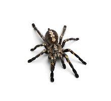 Tarantula Iphone Guardian by BecsPerspective