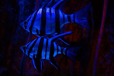 Blue Zebra Fish by Guyzimij