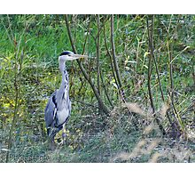 Heron hunting Photographic Print