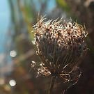 Beauty in Death - Queen Anne's Lace by teresa731