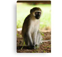 The Stare - Kenyan Monkey Canvas Print