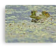 Green bullfrog Canvas Print