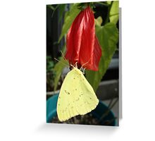 SULPHUR ON LATE HIBISCUS Greeting Card