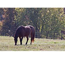 Morgan Horse Grazing on The Grass Photographic Print