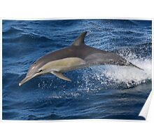 Leaping Common Dolphin Poster