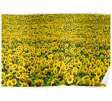 thousands of sunflowers on a sunbath Poster