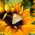 Moth and Sunflower Buffet  by Warren  Thompson