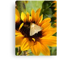 Moth and Sunflower Buffet  Canvas Print
