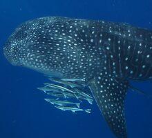 deep blue whaleshark dirk hartog island western australia by peterbeaton