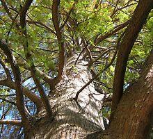 Bald Cypress 5 by dge357